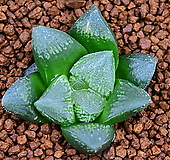 하월시아 hyb 49 haworthia