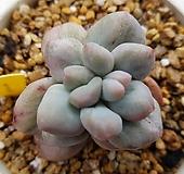 후레뉴금|Pachyphtum cv Frevel