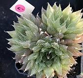 하월시아7 haworthia