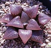 하월시아성채 haworthia