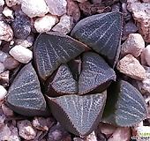 하월시아 haworthia