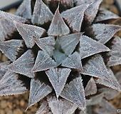 하월시아 백위미교배종(Haworthia 白wimii hybrid) haworthia