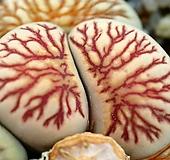국화석 씨앗(10립)|
