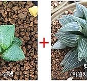 하월시아씨앗 20립(킹기도리)+콤푸토니아실생 haworthia