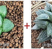 하월시아씨앗 20립(킹기도리)+콤푸토니아 실생 haworthia