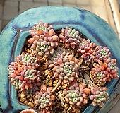 룬데리묵은둥이(뽑다1~2두분리될수있어요)|Echeveria setosa v deminuta