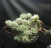 라울묵은둥이|Sedum Clavatum