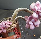 아메치스넘묵은둥이 420-1419|Graptopetalum amethystinum
