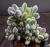 방울복랑  420-2072|Cotyledon orbiculata cv