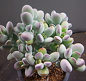 방울복랑 420-2215|Cotyledon orbiculata cv