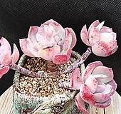 백카시즈   묵은둥이|Echeveria runyonii cv