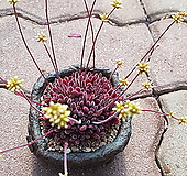 퓨베센스 짱묵은둥이 4.21|Crassula pubescens