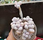 문스톤(569)ㅡ묵은둥이.자연군생|Pachyphytum Oviferum Moon Stone