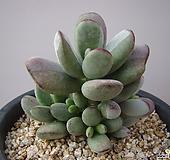 호피방울복랑70|Cotyledon orbiculata cv
