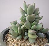 호피방울복랑59|Cotyledon orbiculata cv