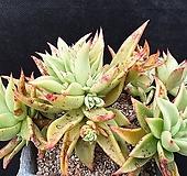 긴잎적성   묵은둥이|Echeveria agavoides Akaihosi