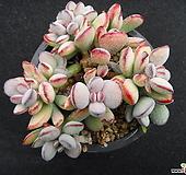 미니방울복랑 0421|Cotyledon orbiculata cv