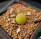 마우가니 4-828|Conophytum maughanii
