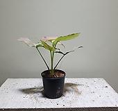 레드스팟싱고니움 싱고늄 수입식물 102015990|