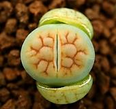 그린 후커리 씨앗(5립)|