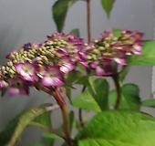 산수국.빨강 신상품|Hydrangea macrophylla