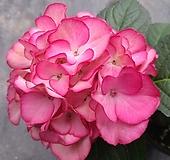 유럽수국 진분홍|Hydrangea macrophylla
