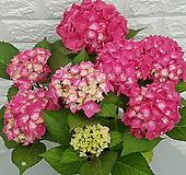 ♥핑크수국 ♥꽃대 7대이상|Hydrangea macrophylla