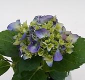 산수국(보라)|Hydrangea macrophylla
