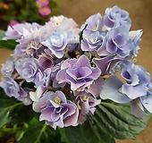 요정수국(노지월동/꽃가득)1|Hydrangea macrophylla