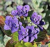 별수국 산수국(가마쿠라) 가무구라(대품)|Hydrangea macrophylla