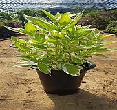 무늬수국(개화주)분|Hydrangea macrophylla