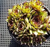 호랑이발톱바위솔4954|Sempervivum hawouthii