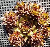 호랑이발톱바위솔4956|Sempervivum hawouthii