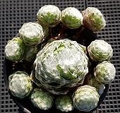 왕거미줄바위솔4966|Sempervivum arachnoideum tomentosum
