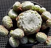 왕거미줄바위솔4967|Sempervivum arachnoideum tomentosum