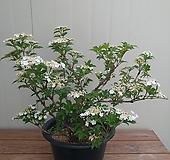 한라백당수국 작품목 특가|Hydrangea macrophylla