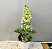 겹떡갈잎수국|Hydrangea macrophylla