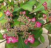 산수국(빨강)|Hydrangea macrophylla