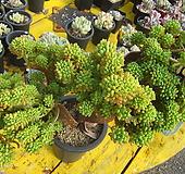 팔천대철화특대품|Sedum corynephyllum