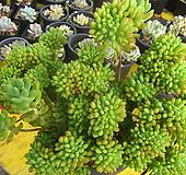팔천대철화대품97|Sedum corynephyllum