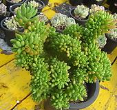 팔천대철화대품15|Sedum corynephyllum