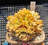 5월특가 성영철화11 Echeveria elegans Potosina