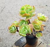 둥근잎비취후리데 (특대품)(왕목질)(자연군생) 1023 0517|Echeveria Peach Pride