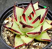 멕시코야생마리아17|Echeveria agavoides Maria