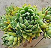 골드왁스 (특대품)(왕목질)(6두 자구7 자연군생) 9.67 0517|Echeveria agavoides Wax
