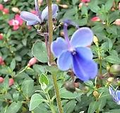 나비수국(소)/노지월동/화단|Hydrangea macrophylla