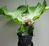 박쥐란엘리펀트단품1번공기정화식물 