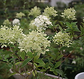 나무수국(여름수국)|Hydrangea macrophylla