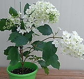 (단품)떡갈잎수국 스노우플레이크|Hydrangea macrophylla