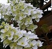 떡갈잎수국(겹)|Hydrangea macrophylla